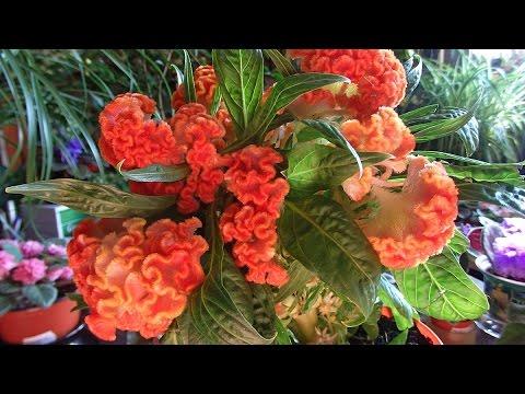 комнатные растения - целозия