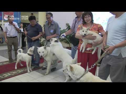 Лайка Суутук впервые встретилась с клонированным из ее уха щенком