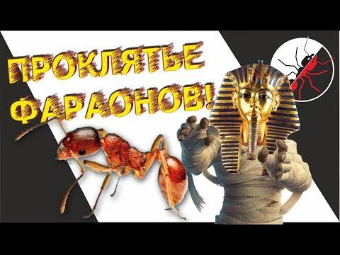 ПРОКЛЯТЬЕ ФАРАОНОВ! Monomorium pharaonis - фараоновы муравьи