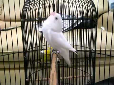 mp4 Lovebird Albino, download Lovebird Albino video klip Lovebird Albino
