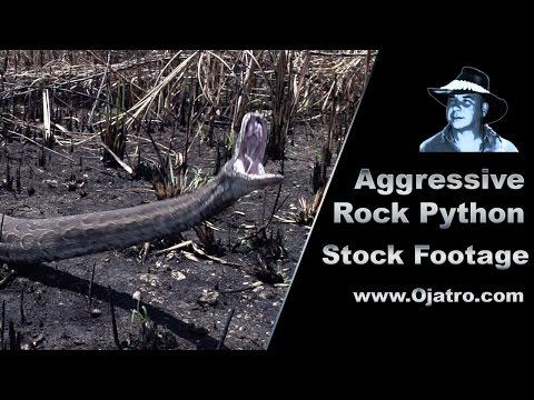 Aggressive Rock Python 01 Stock Footage