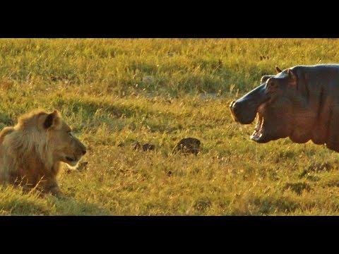 Hippo provokes 9 LIONS letöltés