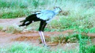 Secretary Bird Stomps On Snake!