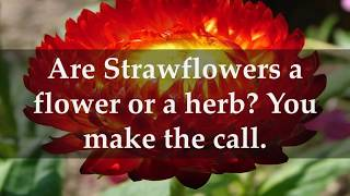 Facts about Strawflower Plants