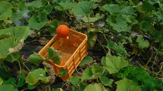 「今日もあなたと百姓一揆!」~旬の有機野菜収穫@コリンキー収穫