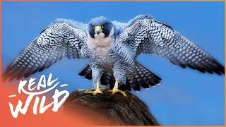 Peregine Falcon Master of the Skies | Amazing Animals | Wild Things Shorts