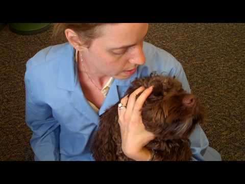 How To Apply Eye Drops And Eye Ointment For Your Pet