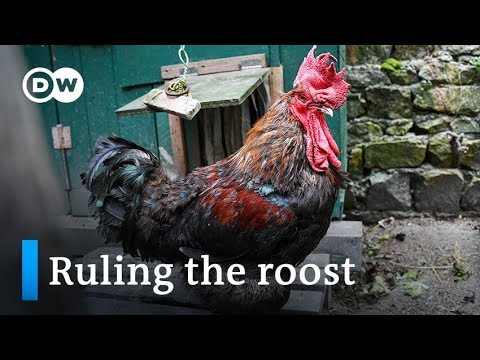 France: Rooster fights for right to crow in court | Focus on Europe