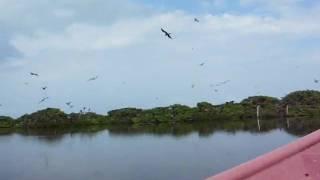 preview picture of video 'Part 2 Codrington Lagoon Frigate Bird Sanctuary in Antigua Barbuda'
