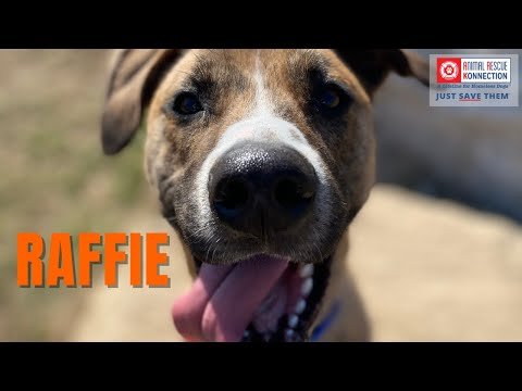 Raffie, an adopted American Staffordshire Terrier Mix in Northbridge, MA_image-1