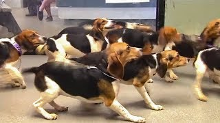 Beaglemania! 65 Beagles Up For Adoption