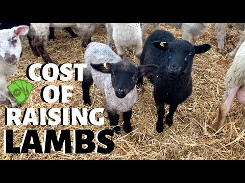 , title : 'How much does it cost us to raise a lamb?  (FROM WEAN TO MARKET): Vlog 233
