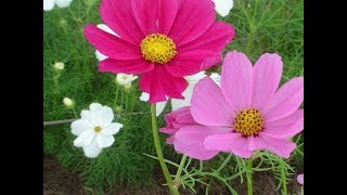 HOW TO PLANT AND CARE FOR COSMOS