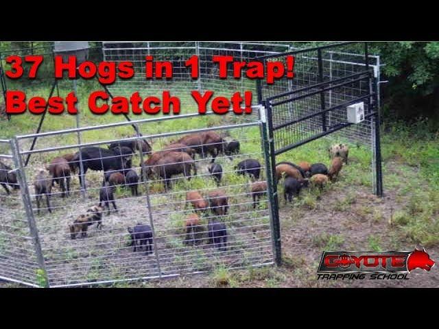 37 Hogs in 1 Trap!!! JagerPro Wild Hog Trapping