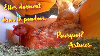 Apakah Ayam Anda Tidur Di Sarang? Bagaimana Cara Memperbaikinya?
