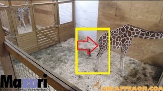 Millions Wait For April The Giraffe To Give Birth - Animal Adventure Park Giraffe Cam