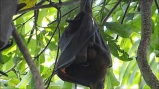 2015-09-26 Fruit Bats, Kakadu, NT