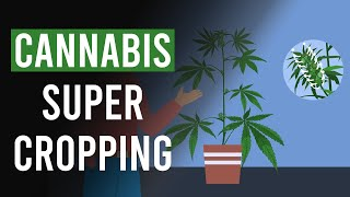 Cannabis Super Cropping: The What, The When & The Why?