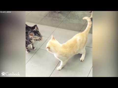 Cat hypnotizing cat