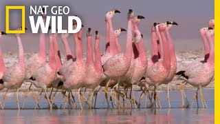 These Flamingos Have Sweet Dance Moves | Wild Argentina