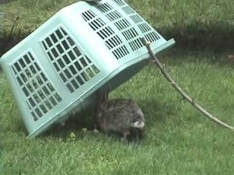 Trampas para cazar conejos y liebre sin muerte for Trampas para ratones sin matarlos