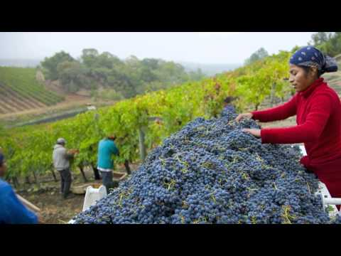 From the Vineyard: It's All About The Grapes