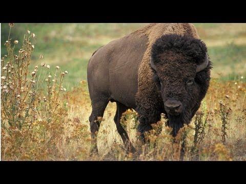 Bison Diorama Highlights Conservation Effort