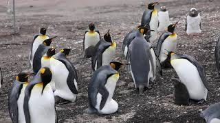 Saunders Island King Penguin colony