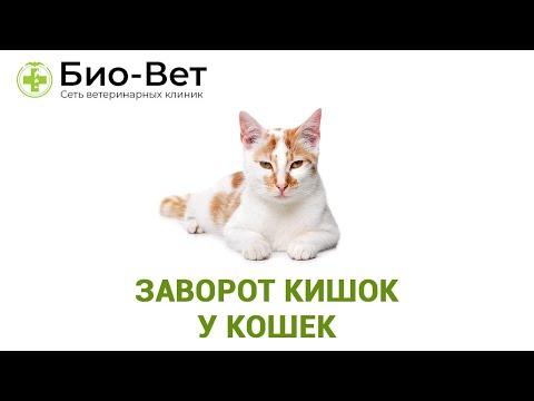 Заворот кишок у кошек. Ветеринарная клиника Био-Вет.