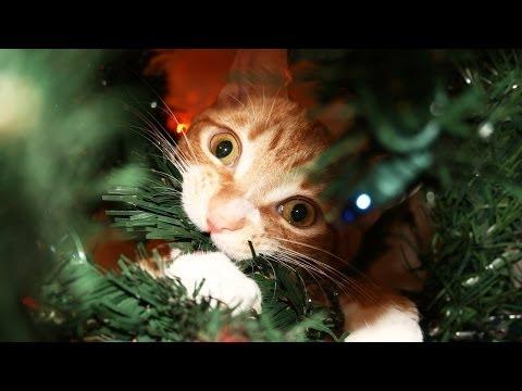 Pisicile iubesc Crăciunul