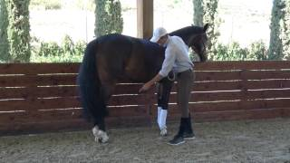 How To Start Training The Piaffe Correctly (step One Leg Lifting) The In Hand Guy