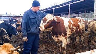 Как быстро вырастить бычка на мясо