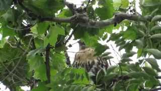 Juvenile Red-tailed Hawk calling for its parents