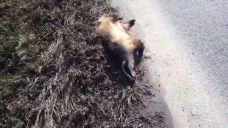 zrazený Borsug  (jazvec) pred obcou Majerovce  27.2.2016