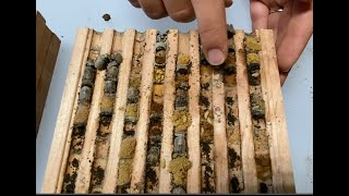 Predators inside a mason bee nesting block - The importance of cleaning your bees every season