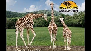 Giraffe Cam - Animal Adventure - April the Giraffe   Kholo.pk