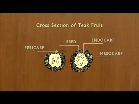 Teak Seed Collection, Processing Storage & Treatment - English
