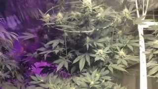 Medical Marijuana Indoor Garden Update