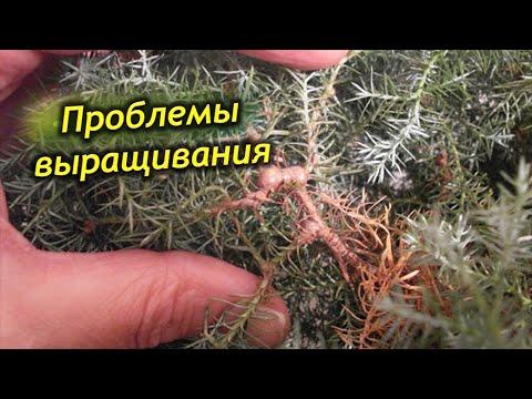 Болезни и вредители комнатного кипариса. Как спасти растения?
