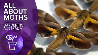 For the love of moths | Beneficial animals and insects | Gardening Australia