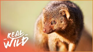 Survival Of The Mongooses! | Bandits Of Selous | Wild Things Shorts