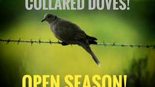 Eurasian Collared Dove Invading The Country! Good or Bad?