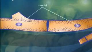 Cell - Cytoplasmic Streaming