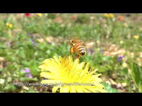 庭のミツバチの飛翔 Honey BEE in my Garden