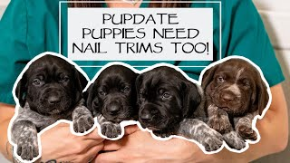 Caring For A New Litter - Puppy Nail Trims - Almost 2.5 Weeks Old