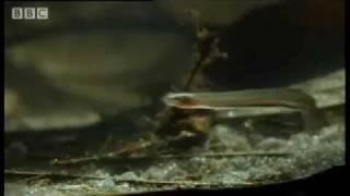 Toothpick Fish Candiru