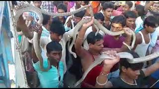 snakes festival in india and fishes in rain water falling from sky