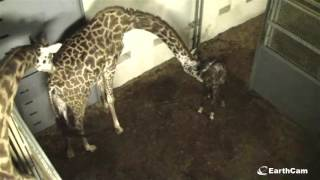 Giraffe born live on EarthCam Greenville Zoo