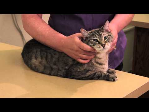 Melanosis In Cats : Cat Health