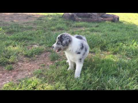 Border Collie Puppy - Spice